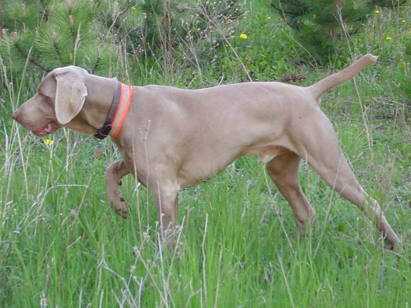 weimaraners get their name from weimar the region of germany they hail ...